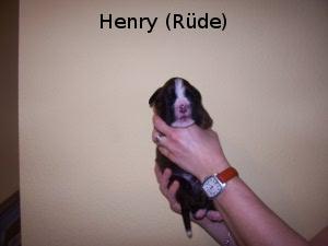Henry (Rüde)