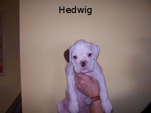 Hedwig (Hündin)